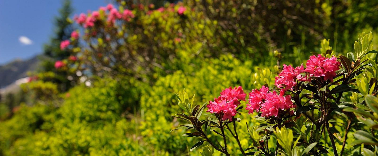 Blumenparadies Fellhorn und Kanzelwand
